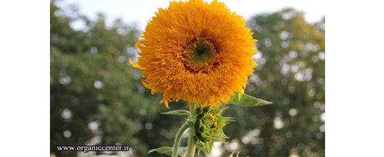 اولین گل آفتابگردان