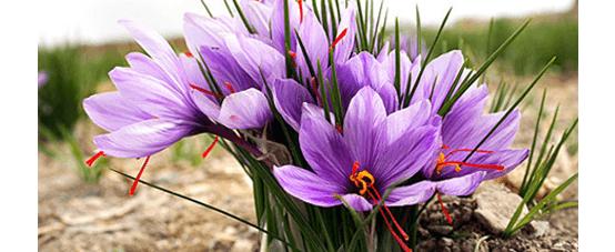 زعفران ارگانیک